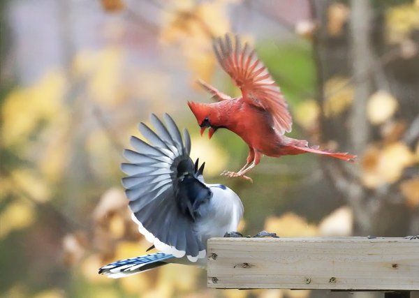 Cardinal instructing a Bluejay on feeder rules thumbnail