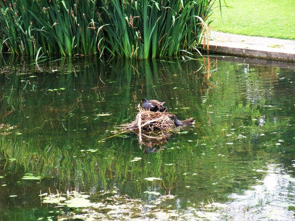 Baby birds in a pond nest.  thumbnail