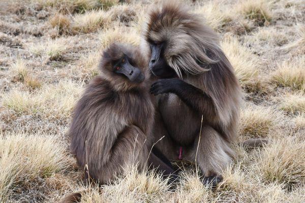 Gelada baboons grooming thumbnail