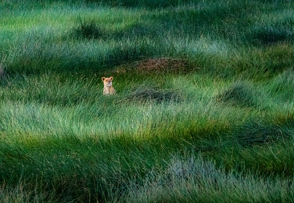 Lioness in the Green Sea thumbnail