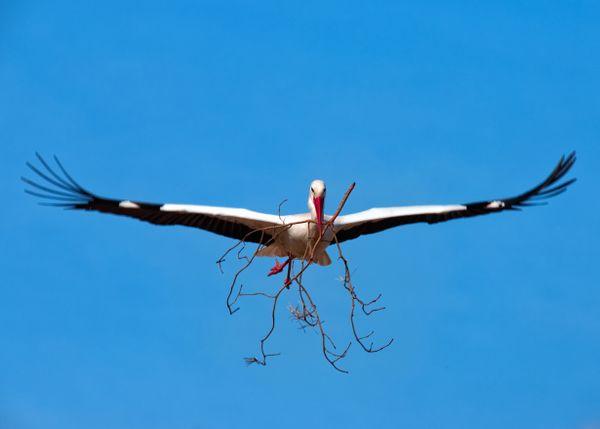 Stork in Flight thumbnail
