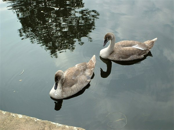 Two ducks in a canal side. thumbnail