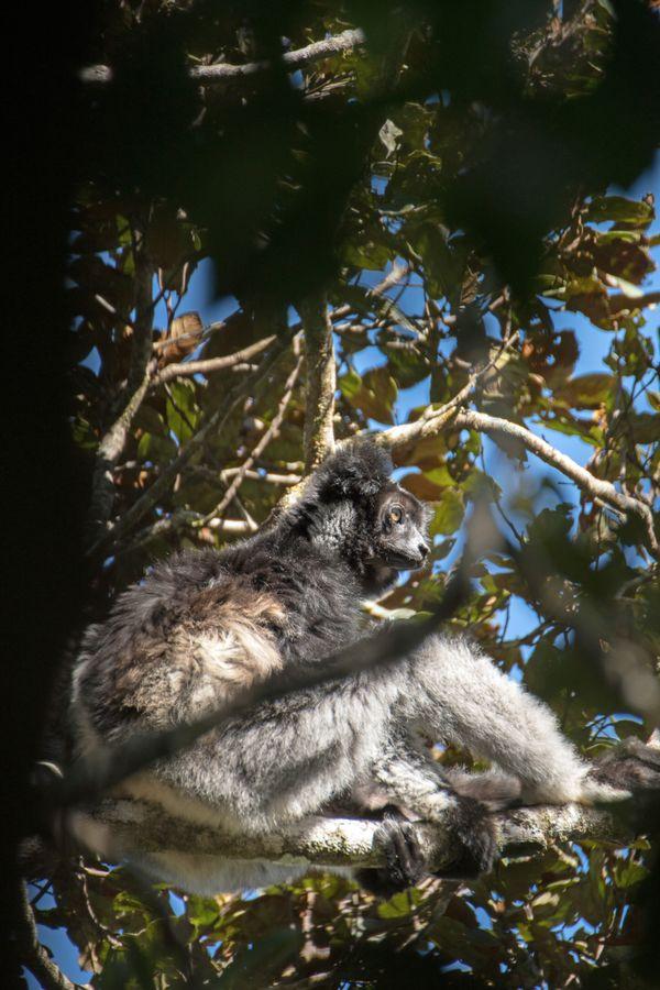 Indri sunbath thumbnail