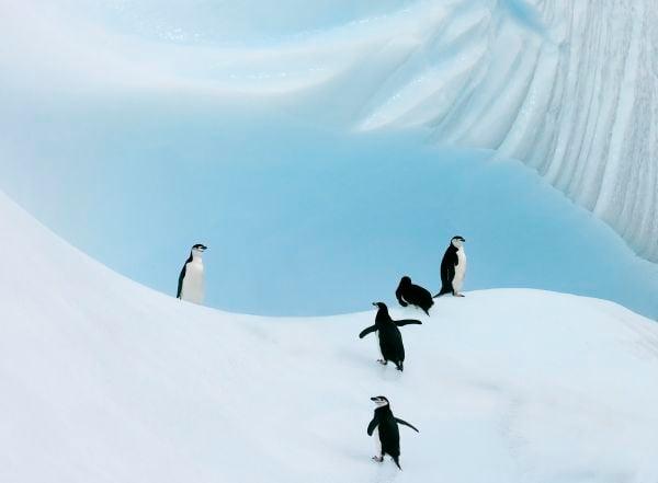 Chinstrap Penguins Climb an Iceberg thumbnail