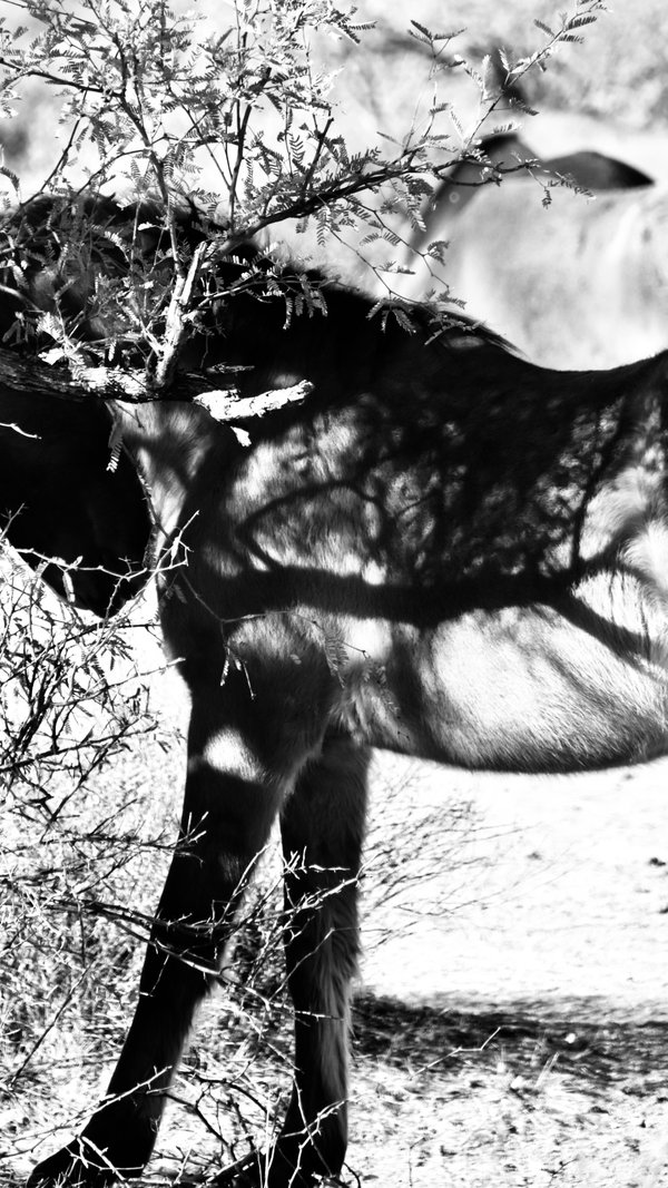 Salt River Wild Horse thumbnail