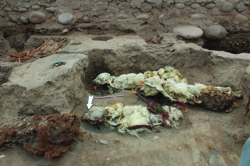 Sacrificed Llamas Found in Peru Were Likely a Gift From the Inca