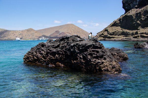 Galapagos Penguin thumbnail