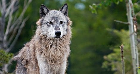 The loss of wolves in the American West set off a cascade of changes to the region's food web.