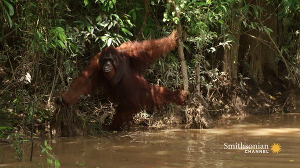 Preview thumbnail for This Aggressive Male Orangutan Refuses to Be Sedated