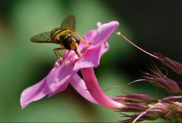 Hoverfly Pollination thumbnail