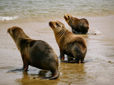Rehabilitated sea lion pups head back to the ocean after being released from The Marine Mammal Center in March.