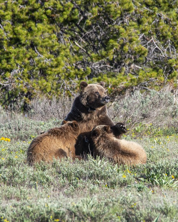 Feeding time for two grizzly cubs thumbnail