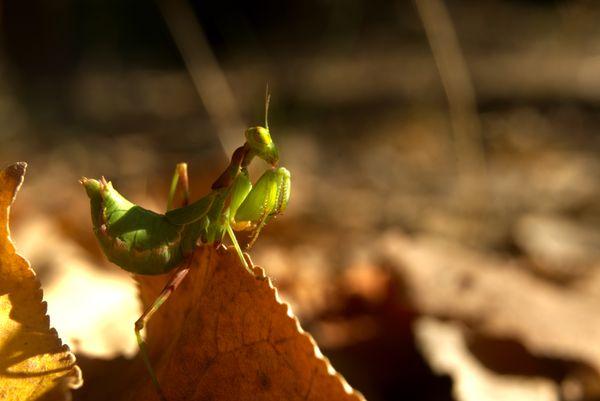 mantis on a leaf thumbnail