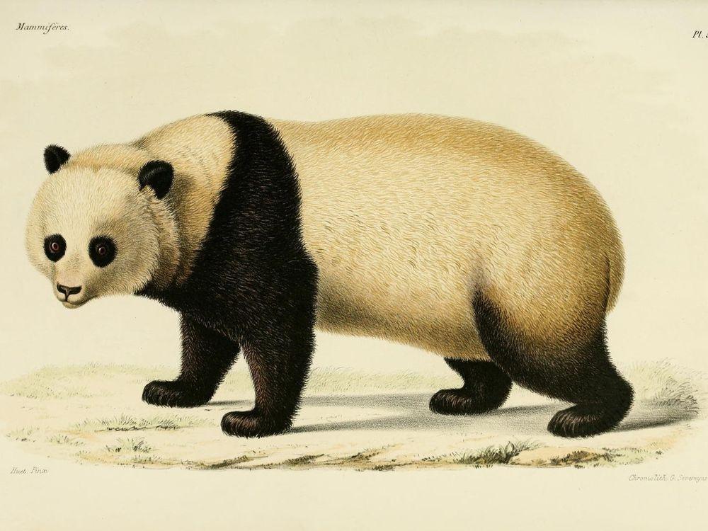 Milne-Edwards panda