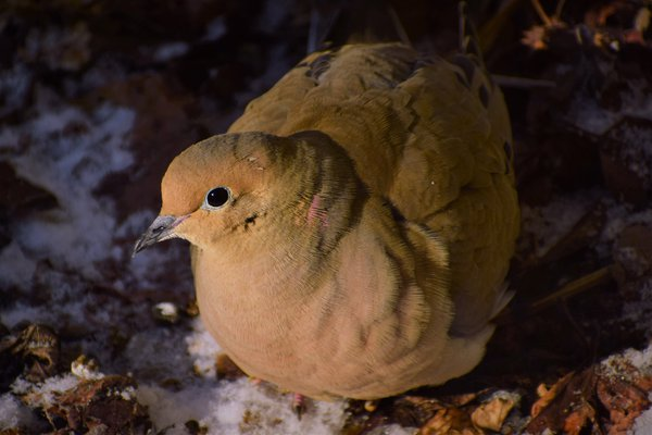 Mourning Dove on a Cold Winter Day thumbnail