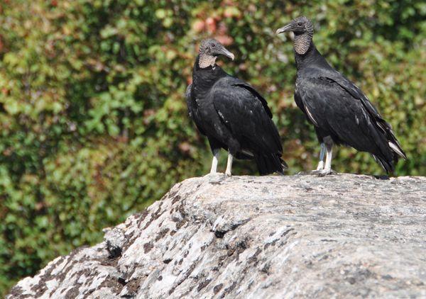 Black Vulture Pair thumbnail