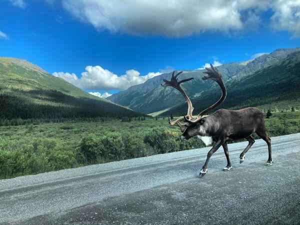 Caribou explores Denali National Park thumbnail