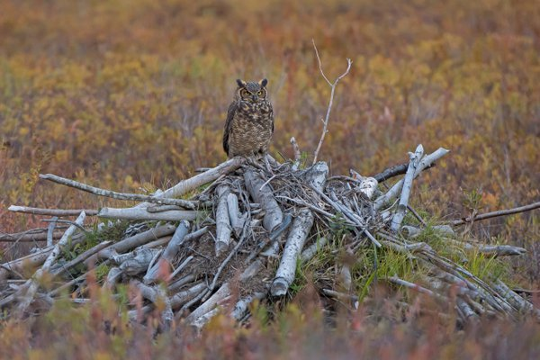 Owl on Beaver Lodge thumbnail