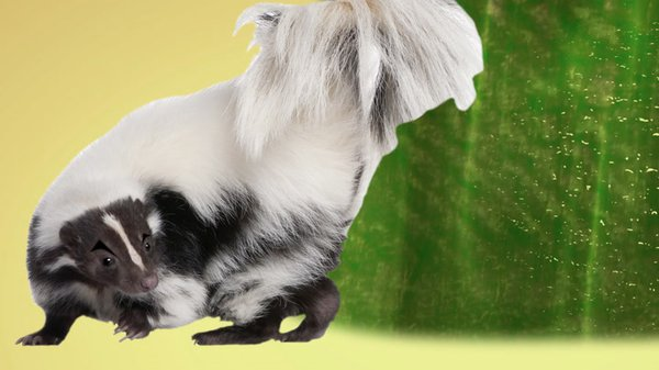 Preview thumbnail for Ask Smithsonian: What Makes Skunk Spray Smell So Terrible?