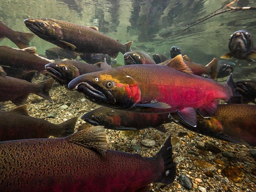 Swimming Upstream Pacific Salmon