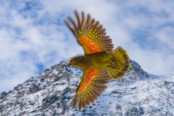 Flying Kea thumbnail