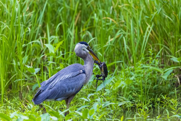 Great Blue Heron and Turtle thumbnail
