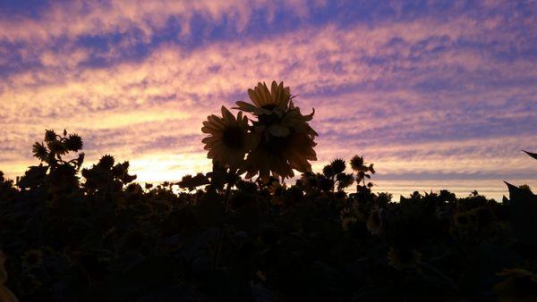 Kansas Sunflower Field at Sunset thumbnail