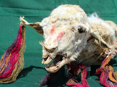 The llamas were preserved through natural mummification, leaving their colorful decorations intact.