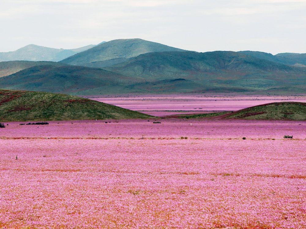 Atacama Wildflowers