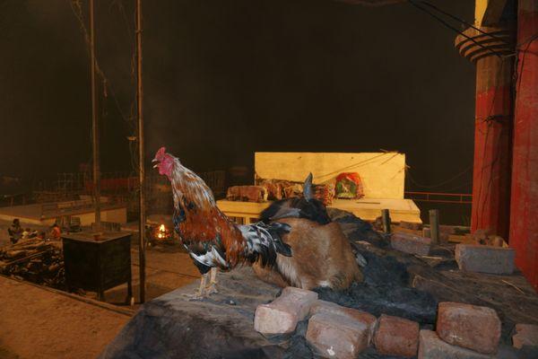 A rooster crowing at the break of dawn at Harishchandra Ghat in Varanasi thumbnail