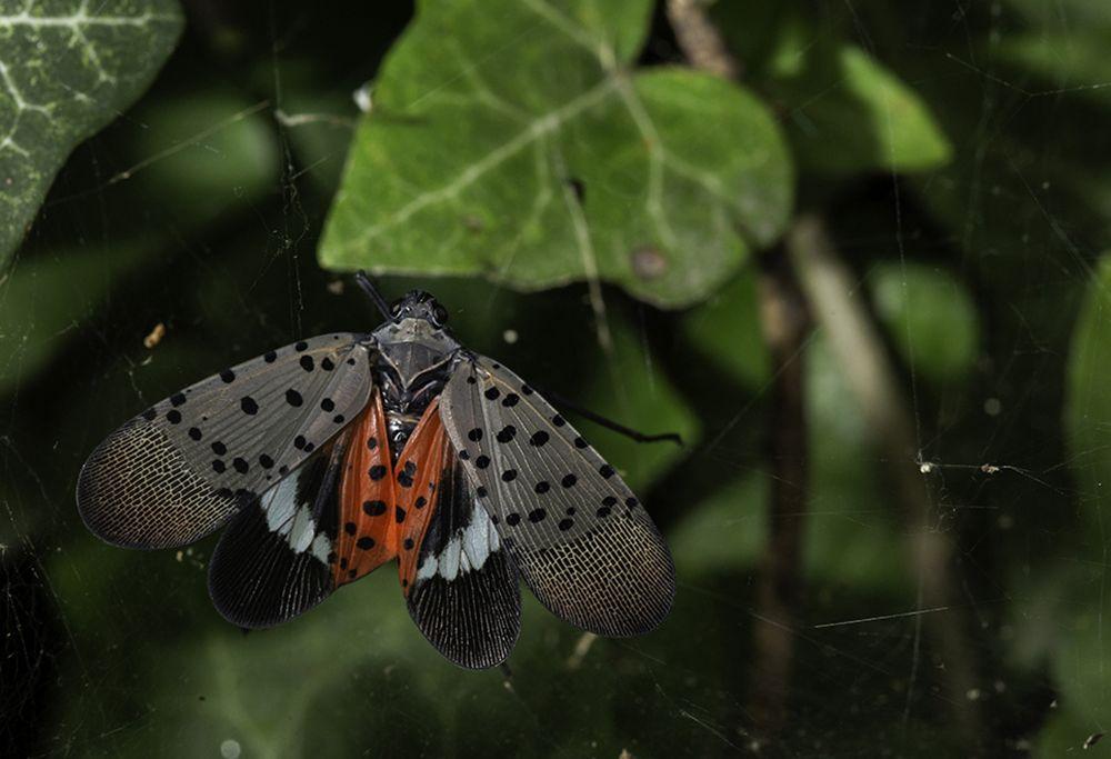 A lanternfly among foliage