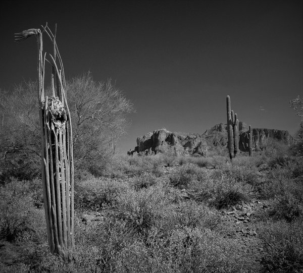 Saguaro cactus Skeleton near Superstition Mountain, Arizona thumbnail
