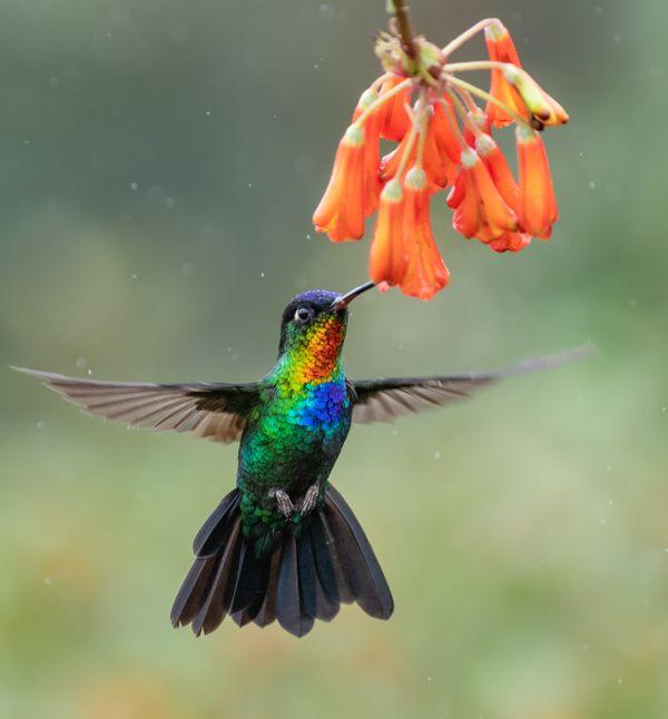 Fiery-throated Hummingbird thumbnail