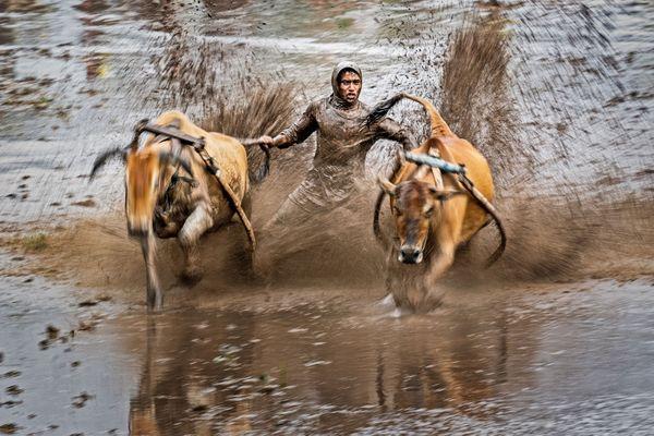 Running bull thumbnail