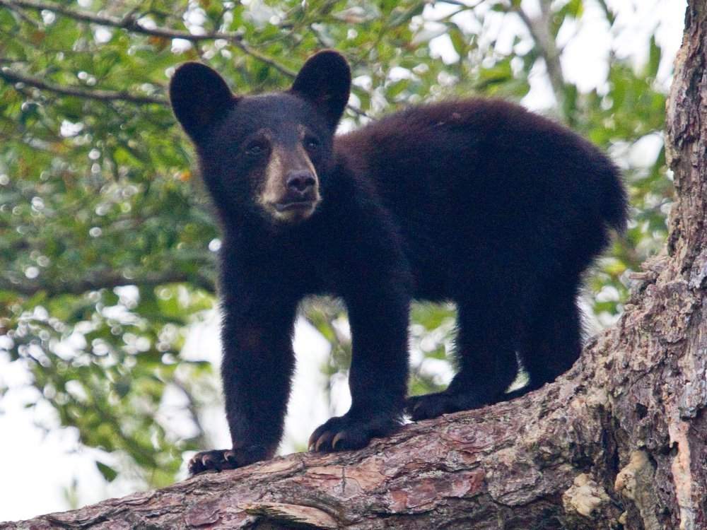 A small black bear cub is see standing on all fours on a tree branch.