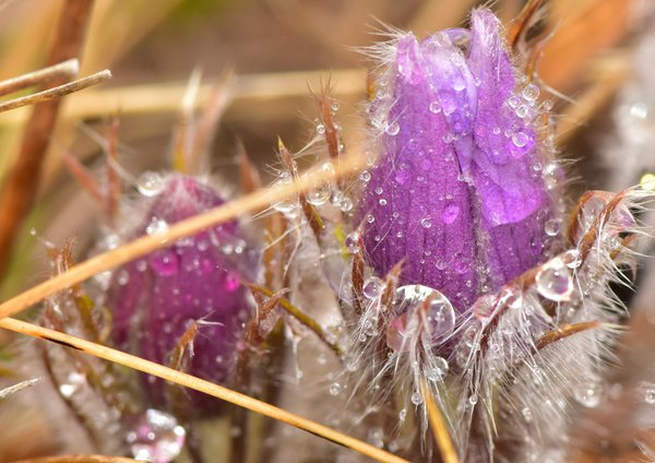 Crocuses after a spring rain thumbnail