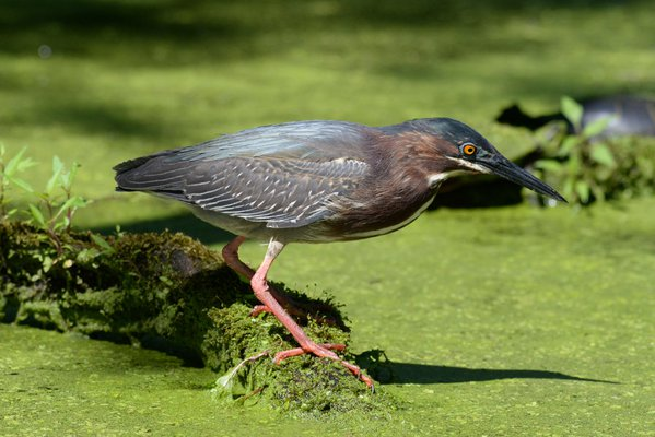 A Green Heron searching for lunch. thumbnail