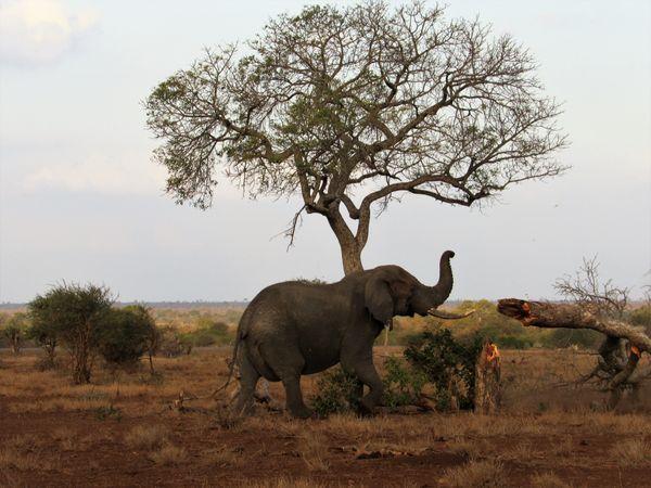 Elephant takes down tree thumbnail
