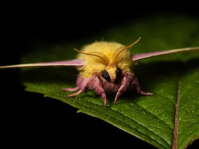 The fuzz of the fingernail-sized rosy maple moth may remind you of a teddy bear.