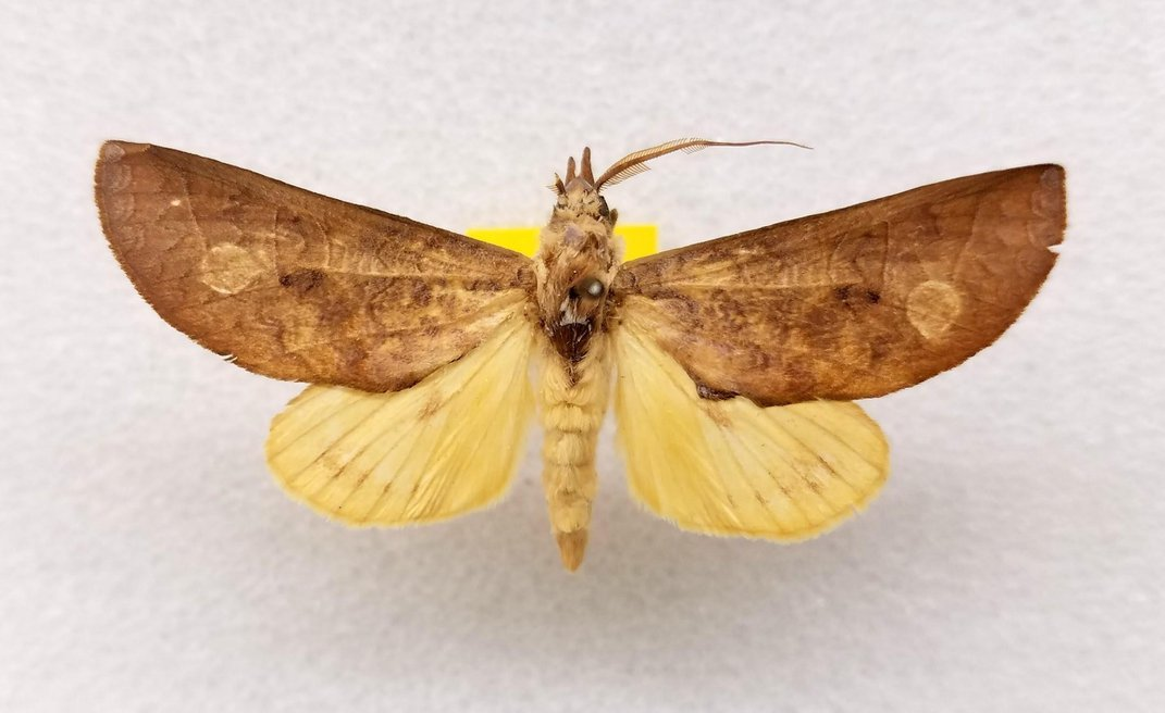 Preserved yellow and brown moth on a white background