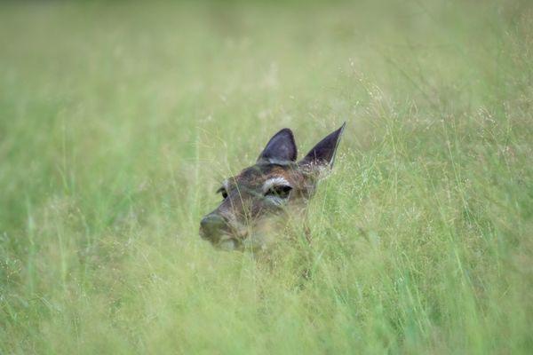 Whitetail Doe Hiding in Tall Grass thumbnail