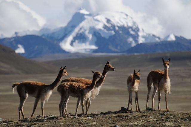 Poaching Upsurge Threatens South America's Iconic Vicuña