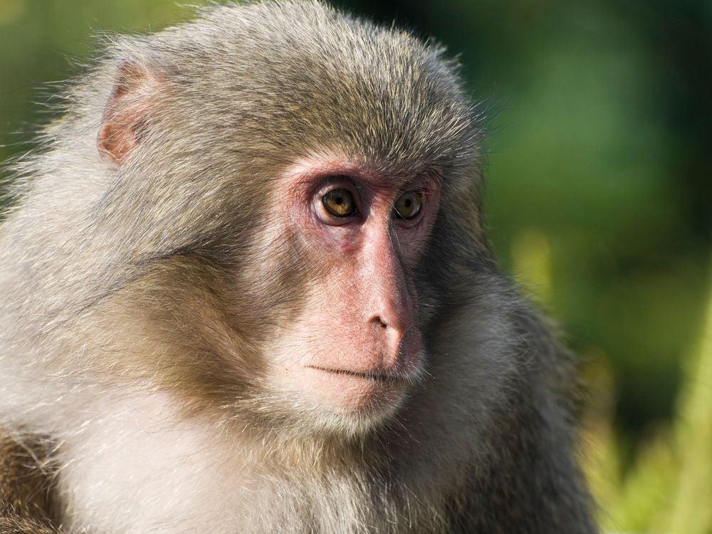 Introspective Monkey