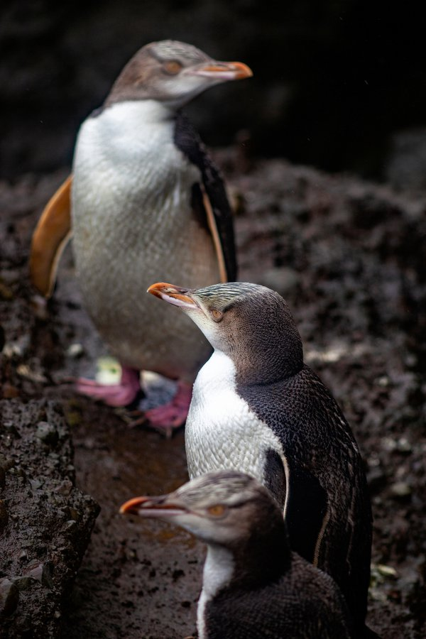 Yellow eye penguins. Enderby island.  Aucklands islands. New Zealand thumbnail