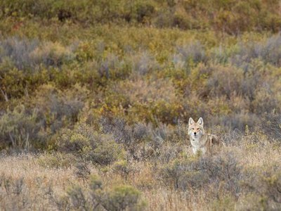 Coyotes are one of the most resourceful and resilient predators and play an important role in controlling populations of small mammals.