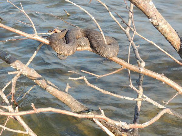 water snake sunning thumbnail