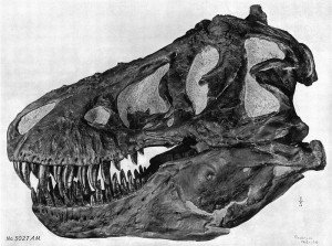 20110520083223Brown-Tyrannosaurus-skull-300x223.jpg
