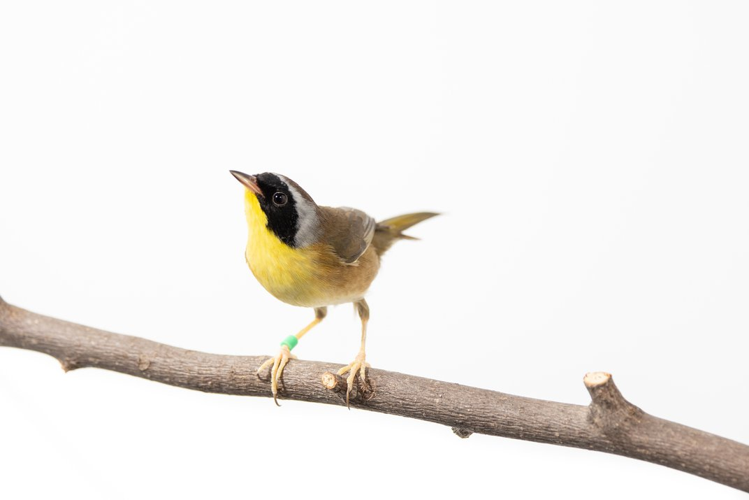 A male common yellowthroat (a small migratory bird) perched on a branch. It has mostly yellow feathers with black-and-white face feathers, and a green band on its right leg.