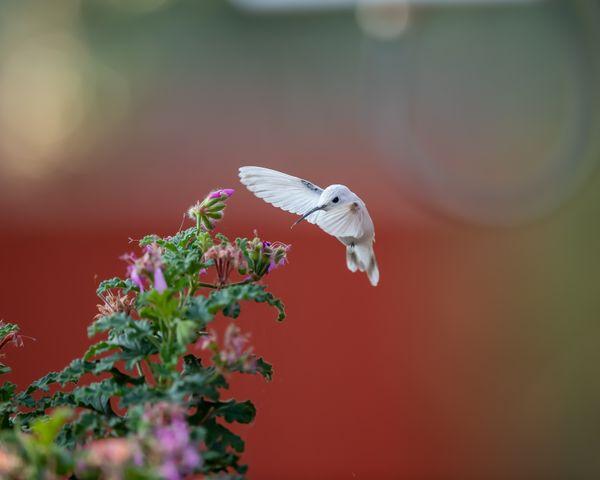 Leucistic Broad-Tailed Hummingbird thumbnail