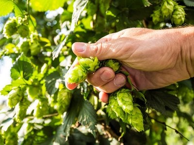 In search of distinctly American beer hops.